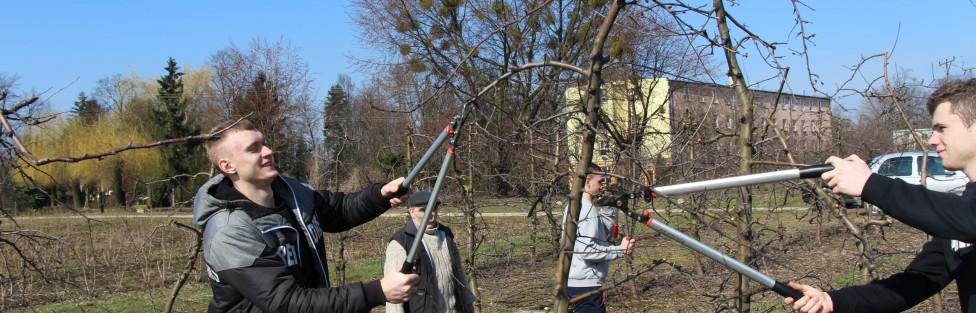 Konkurs cięcia drzew owocowych roztrzygnięty